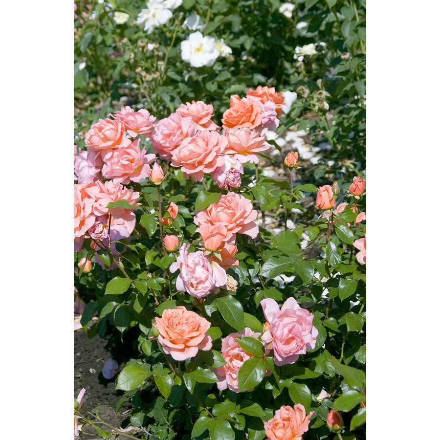 Easy Elegance 2-Gallon Sweet Fragrance Pink Rose