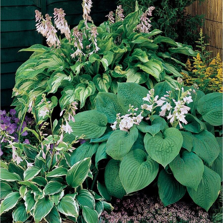 2.5-Quart Plantain Lily (Lb029)