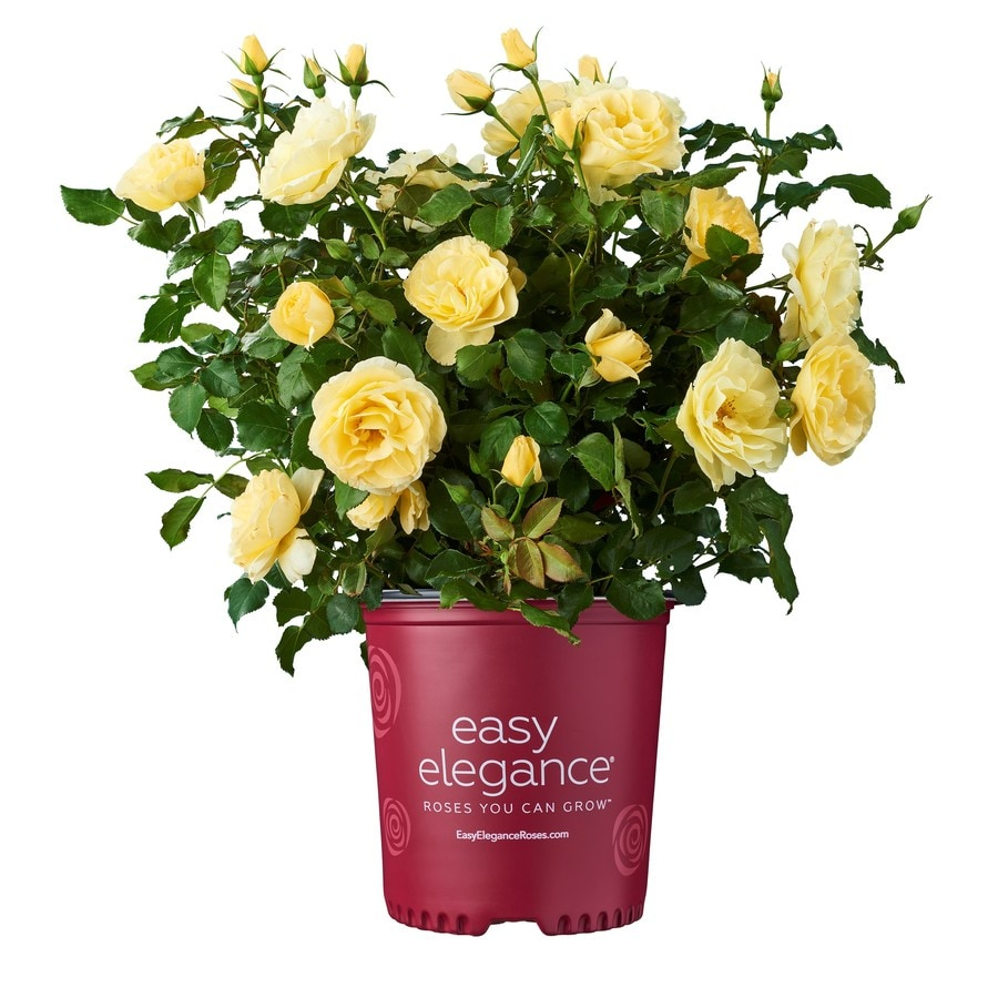 1.6-Gallon Yellow Rose Accent Shrub