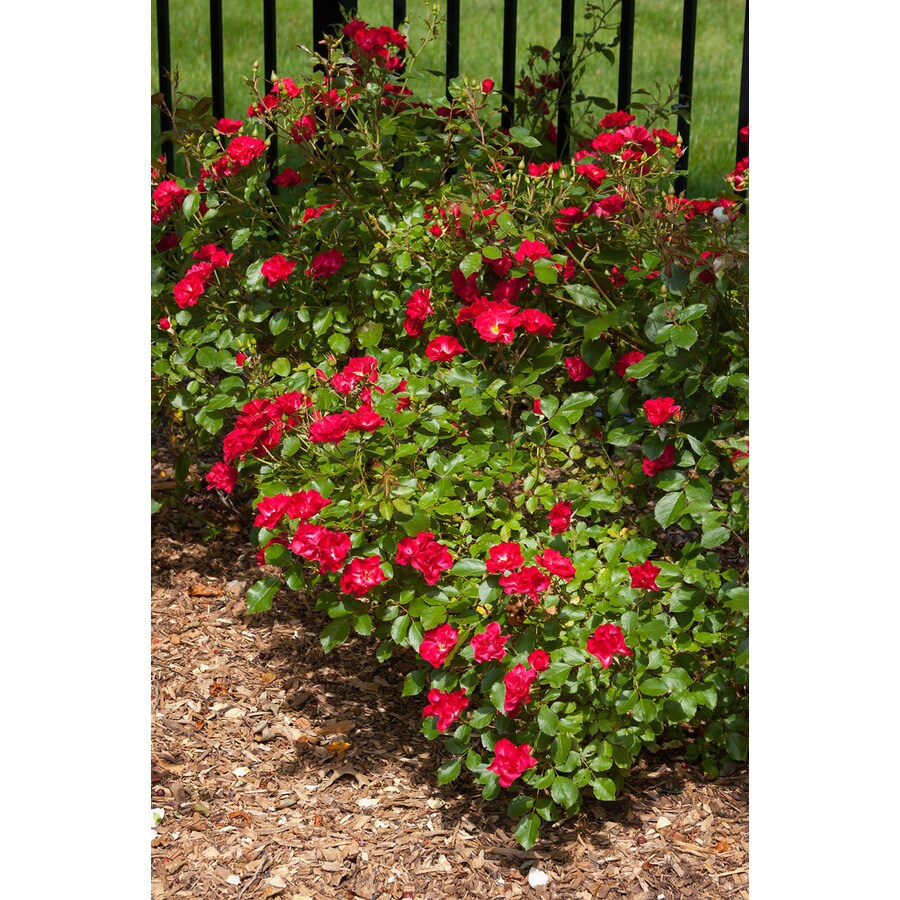 Easy Elegance 2-Gallon Mystic Fairy Red Rose