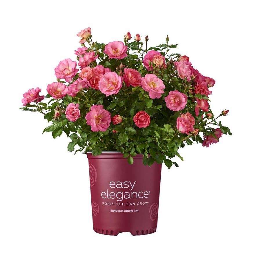 Easy Elegance 2-Gallon Sunrise Sunset Pink Rose