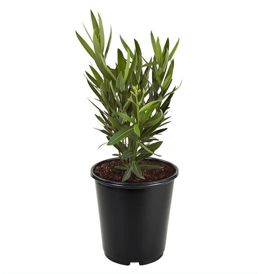 2.5-Quart Mixed Oleander Flowering Shrub (L0056)