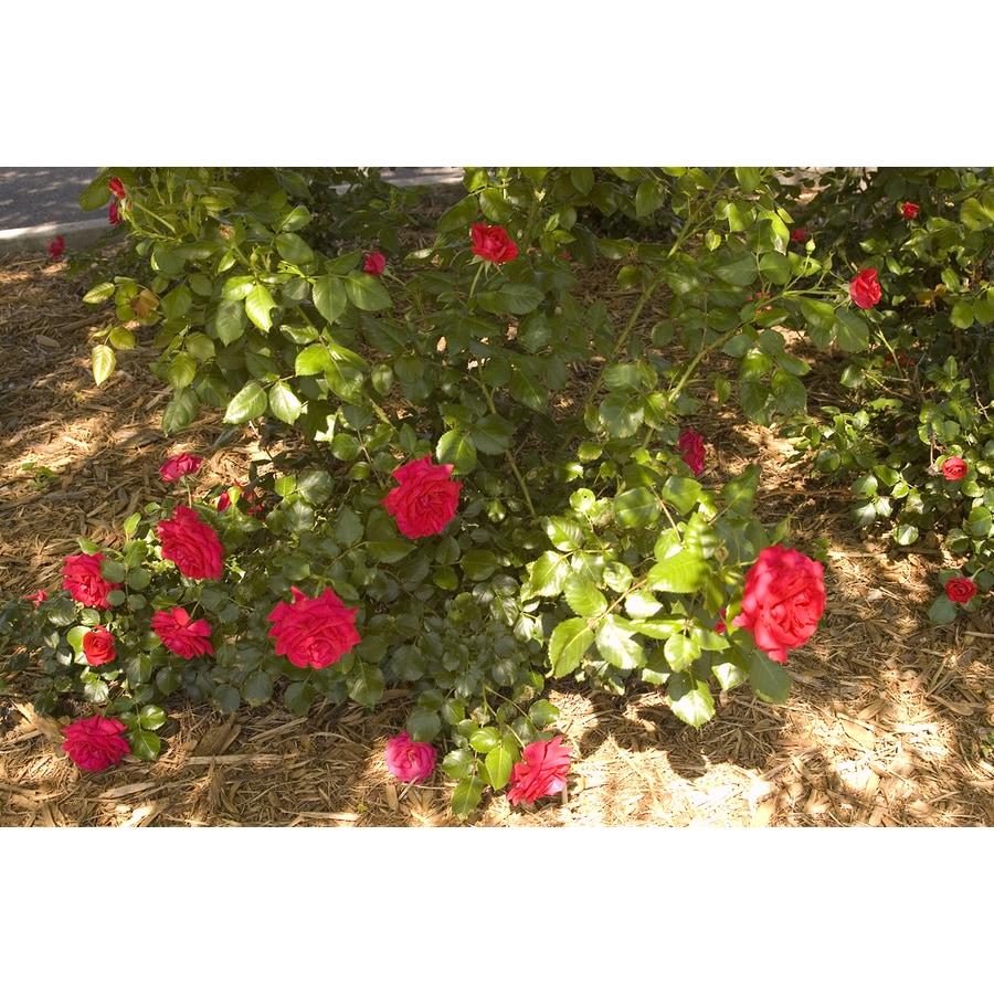 Easy Elegance 2-Gallon Super Hero Red Rose