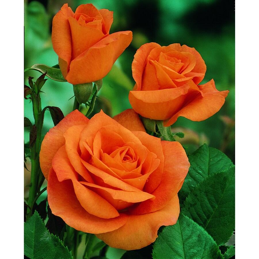 2.25-Gallon Rose (L6023)