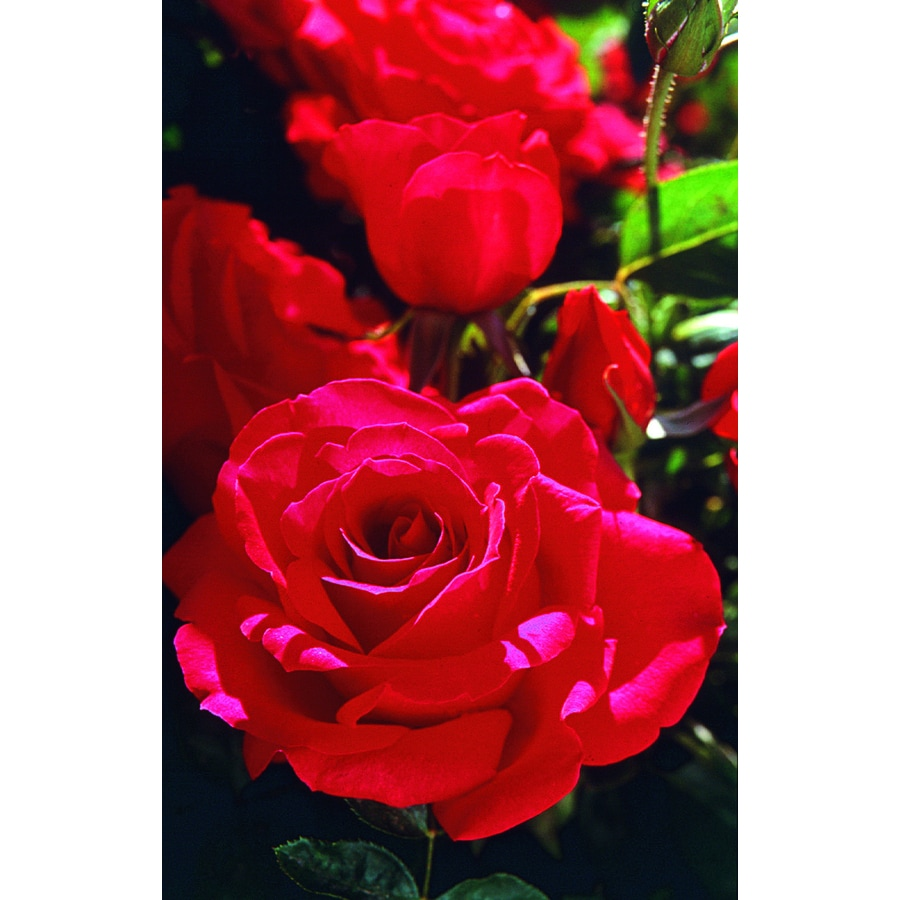 2 25 Gallon Pot Red Rose L6023 At Lowes Com