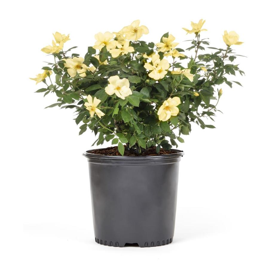 2.25-Gallon Rose (L6023)