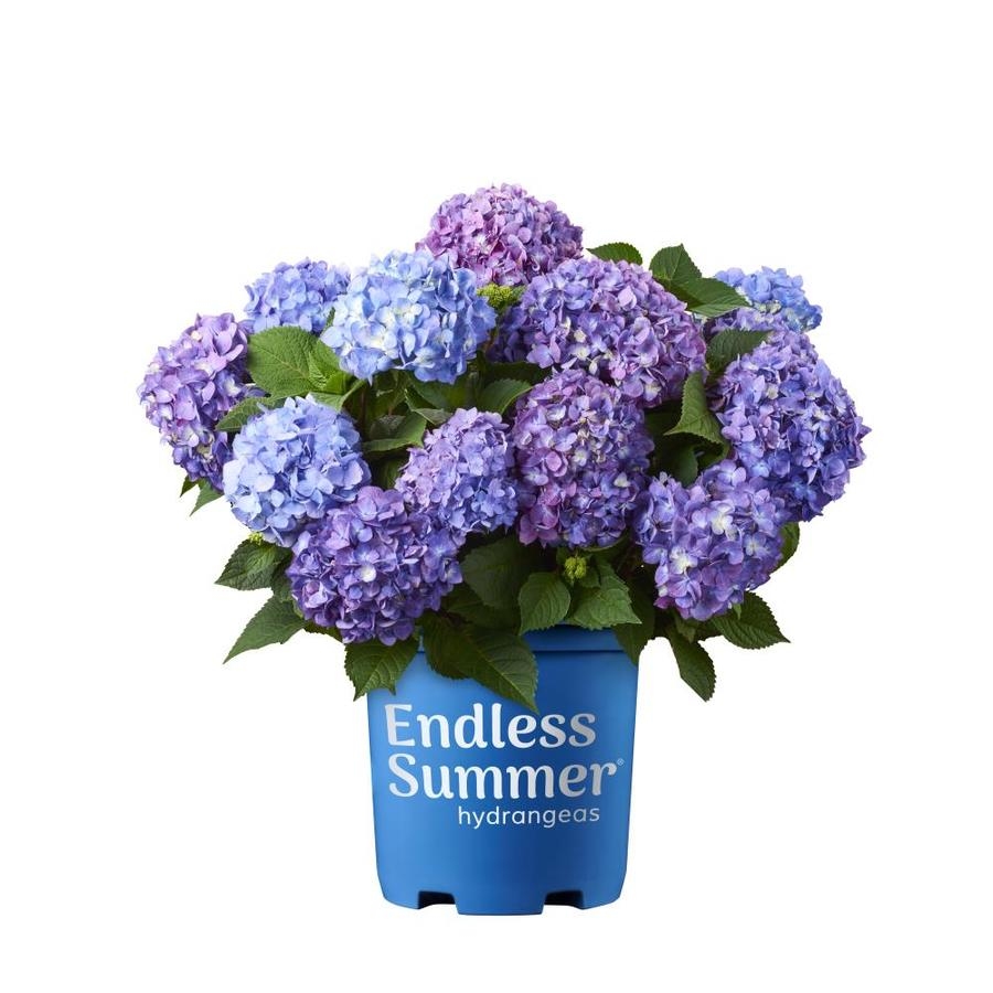 1 Gallon Multicolor Hydrangea Bloom Struck Flowering Shrub