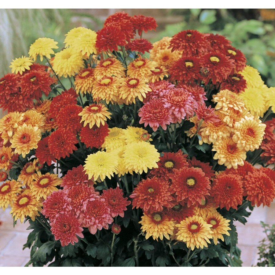 14 oz Chrysanthemum (L2746HP)