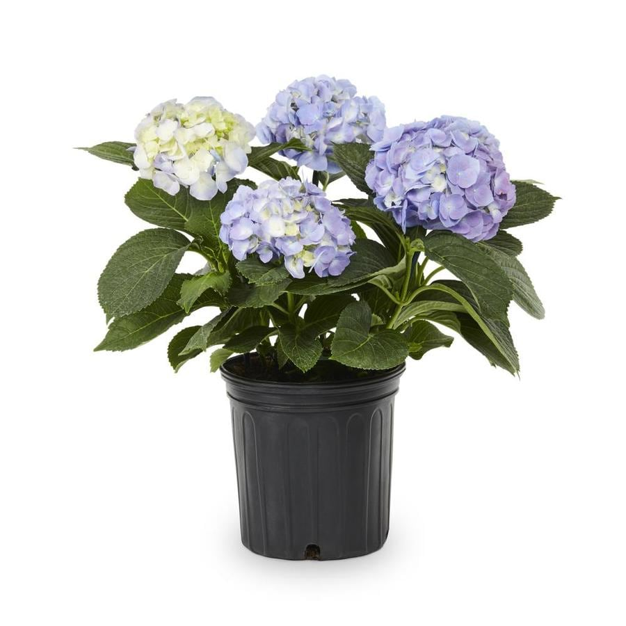 1.5-Gallon Mixed Hydrangea Flowering Shrub (L6357)