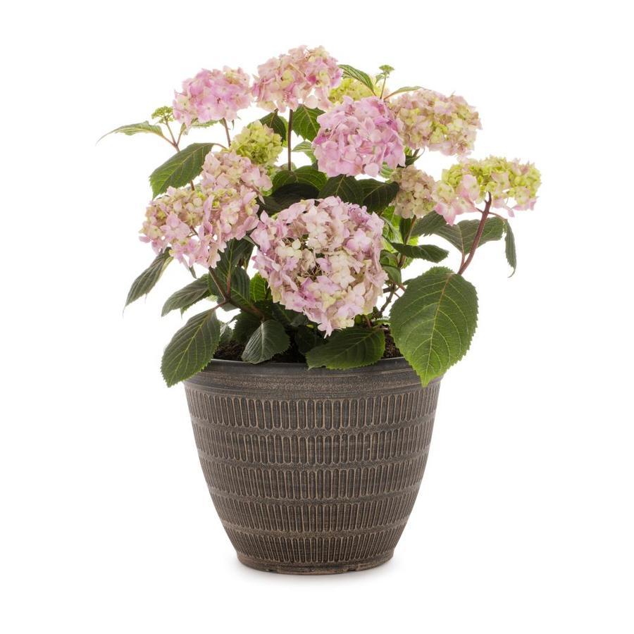 2.25-Gallon Mixed Hydrangea Flowering Shrub (L6357)