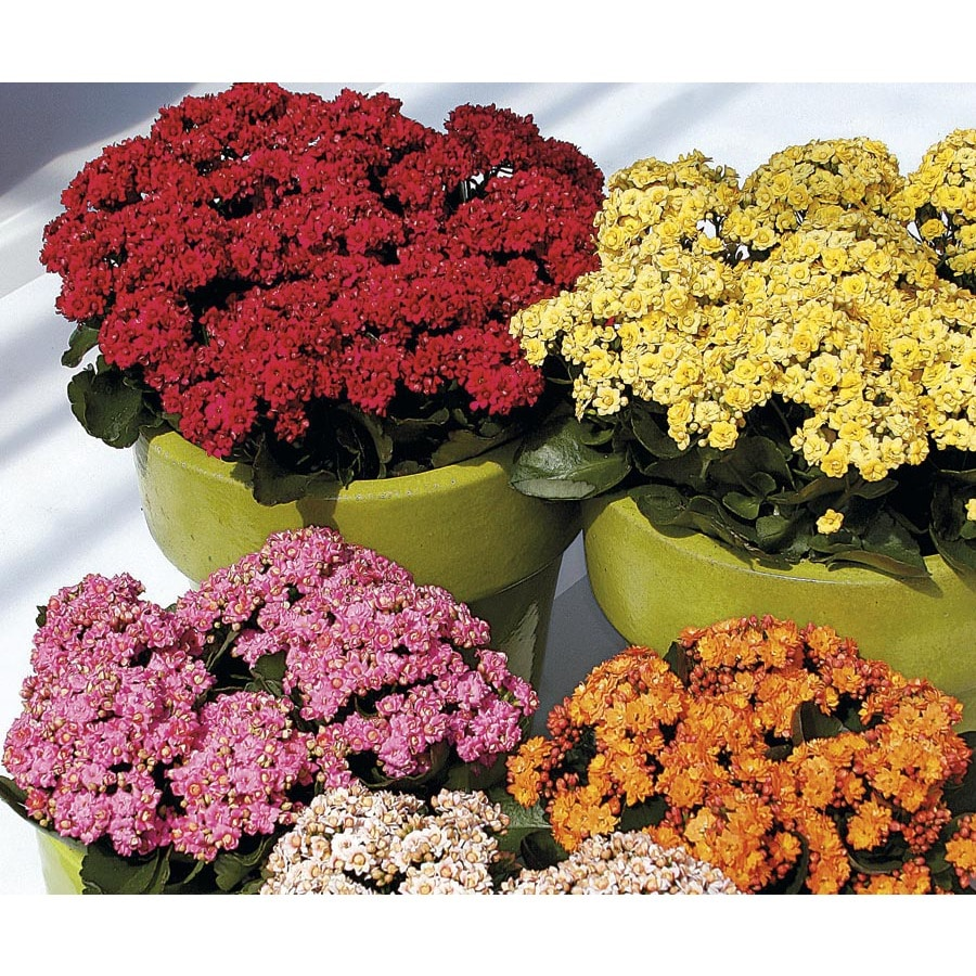 1.25-Quart Flowering Kalanchoe (LW04263HP)
