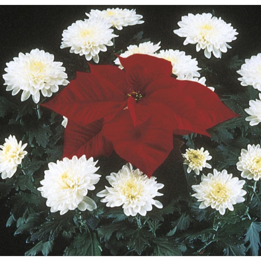 1.69-Gallon Poinsettia with Mum (LW01540HP)