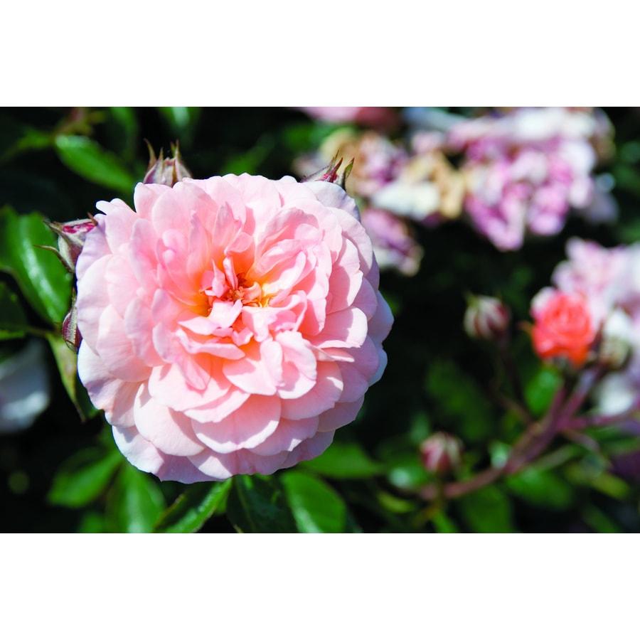 2-Gallon Pot Drift Rose Apricot