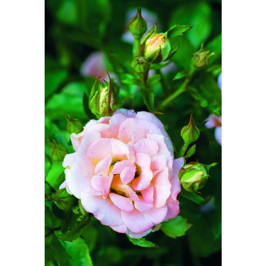 2 Gallon Pot Pink Drift Rose Peach