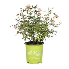 1-Gallon in Pot Coral Knock Out; Coral