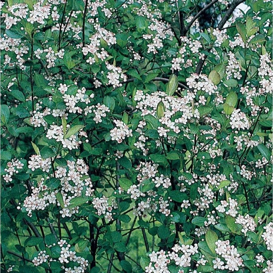 1-Gallon White Viking Chokeberry Foundation/Hedge Shrub (L21683)