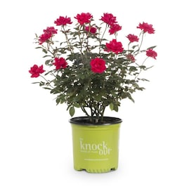 1-Gallon in Pot Red Double Knock Out Rose (Lw02389)