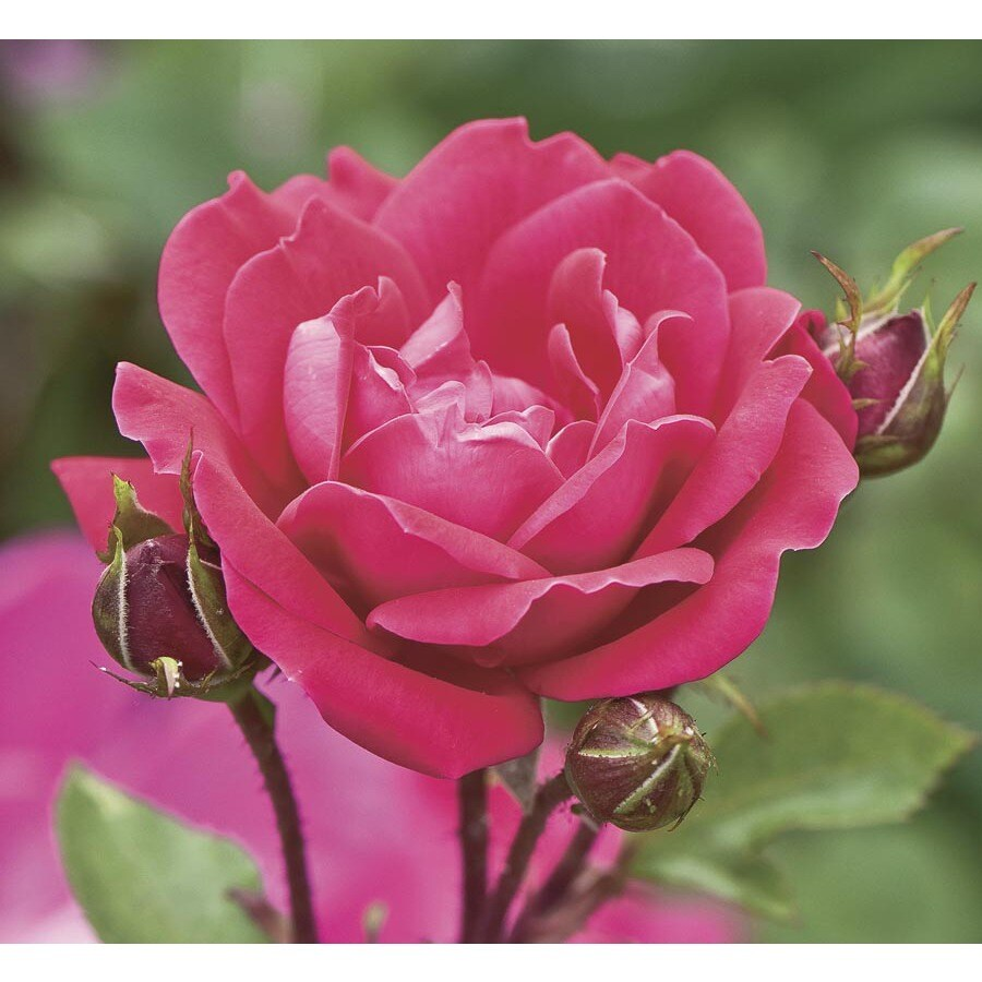 3-Gallon Double Knock Out Rose (LW02389)
