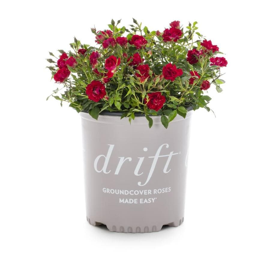 2-Gallon Pot Drift Rose Red