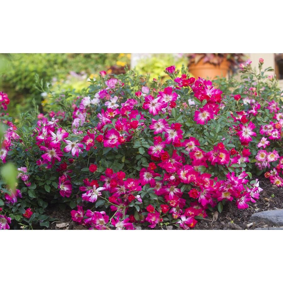 2-Gallon Pot Drift Rose Pink