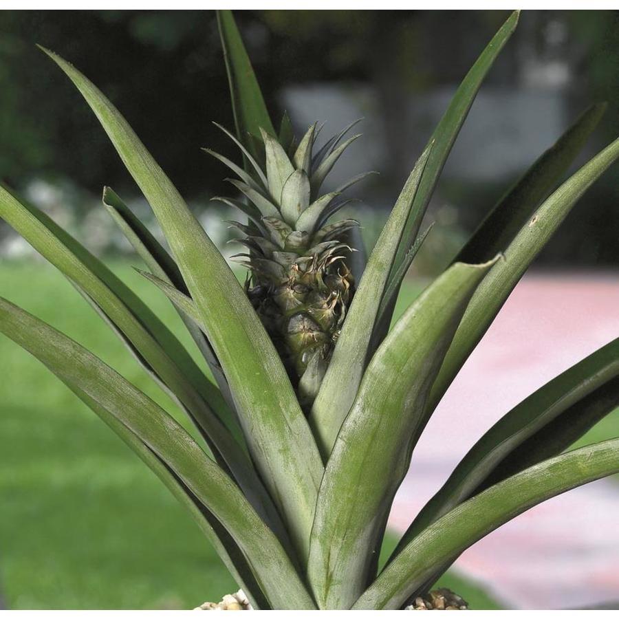 Anana Pineapple (L292HP)