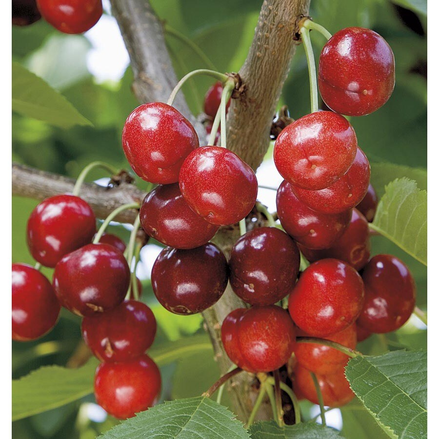 3.25-Gallon Semi-Dwarf Cherry Tree (L7396)