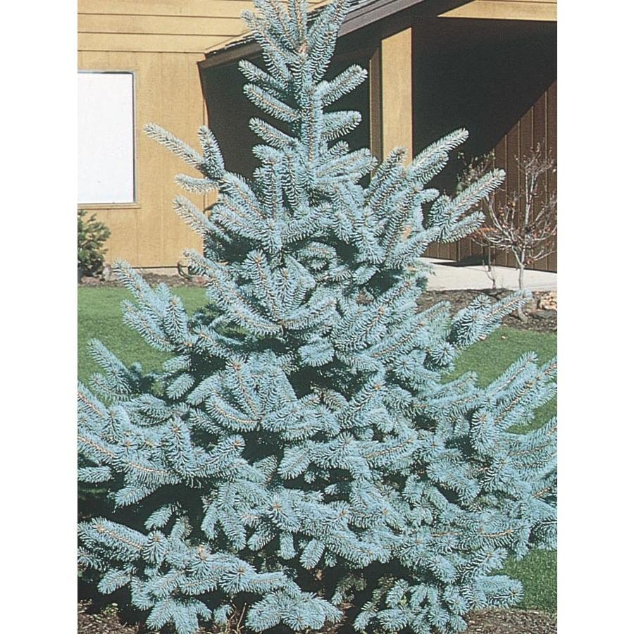 6-Gallon Bakeri Spruce Feature Tree (L4099)