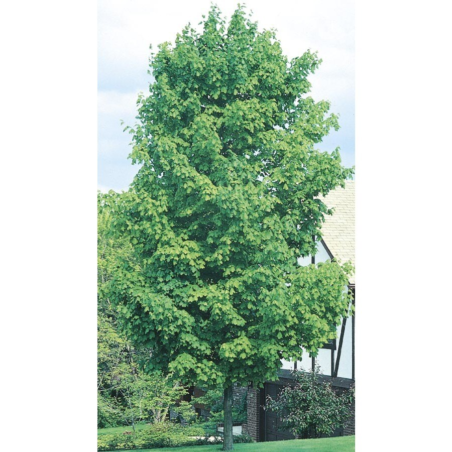6.08-Gallon Sugar Maple Shade Tree (L1066)