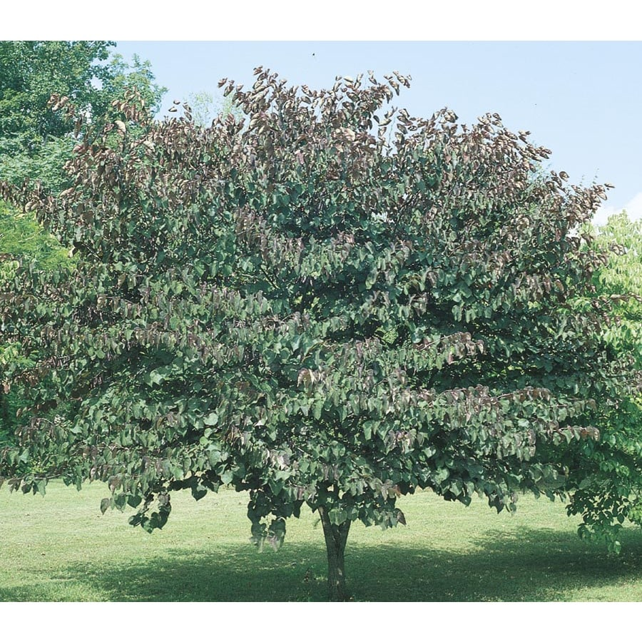 6-Gallon Forest Pansy Redbud Flowering Tree (L1071)