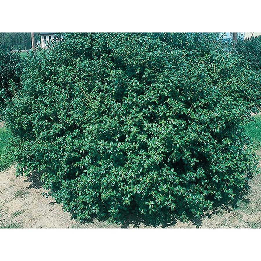 1.5-Gallon China Boy Holly Foundation/Hedge Shrub (LW00248)