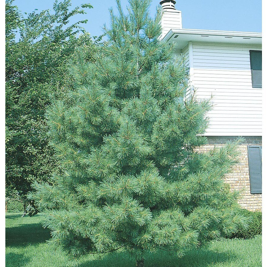 5-Gallon Eastern White Pine Screening Tree (L3619)