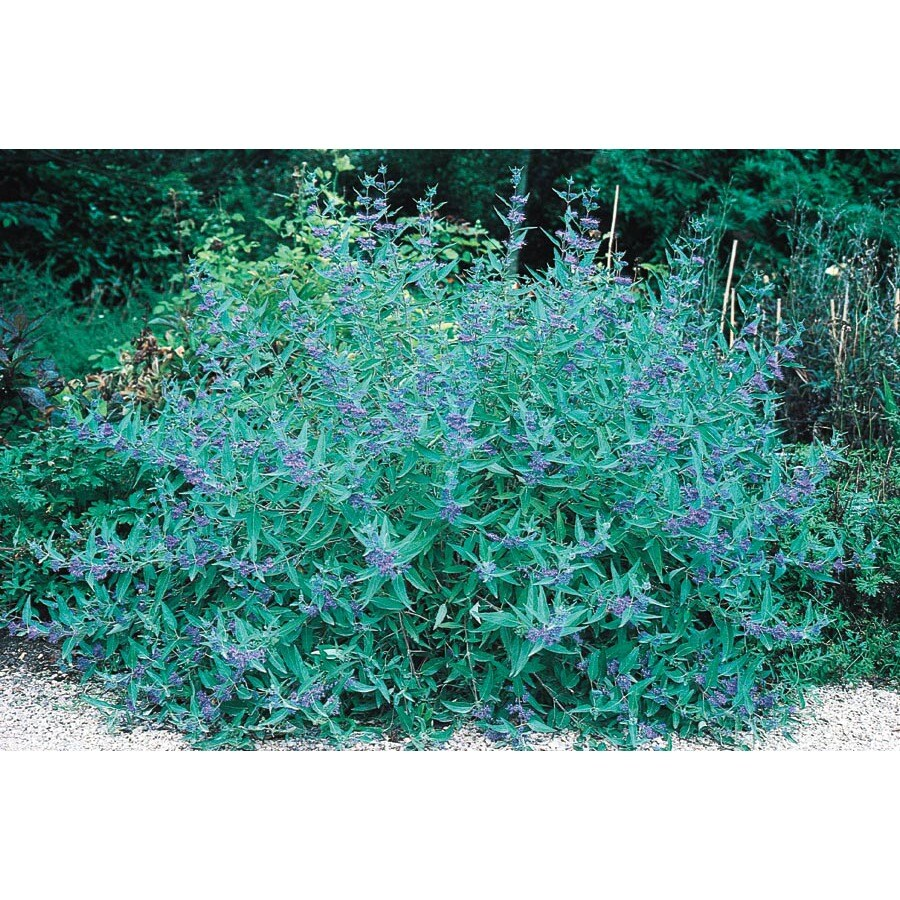 1.5-Gallon Blue Mist Caryopteris (L5503)