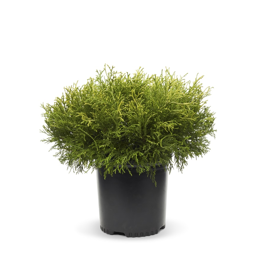 1.5-Gallon False Cypress Feature Shrub (L27665)