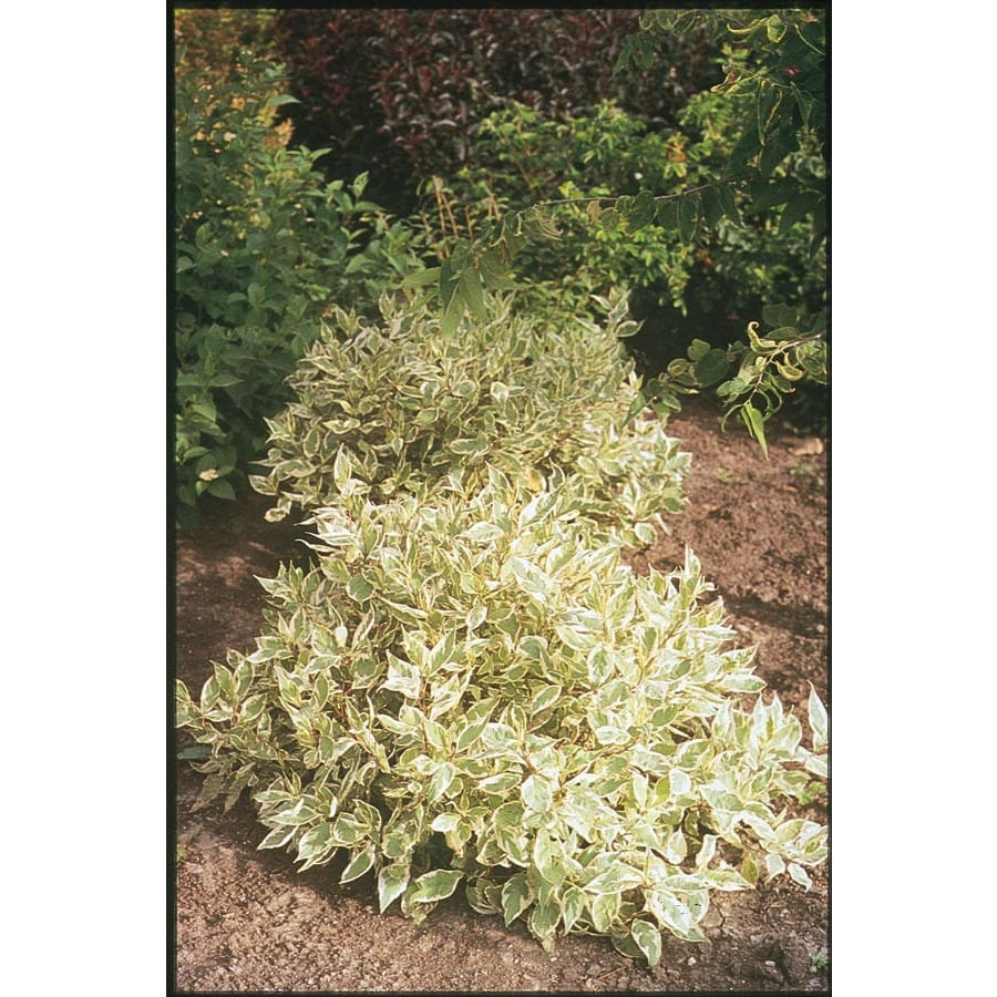 2.25-Gallon White Ivory Halo Dogwood Flowering Shrub (L9847)