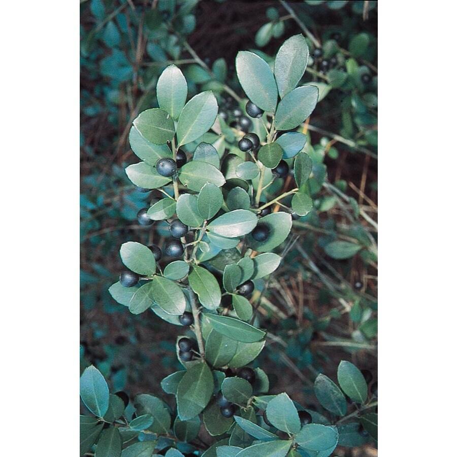 2.25-Gallon Compact Inkberry Foundation/Hedge Shrub (L4053)