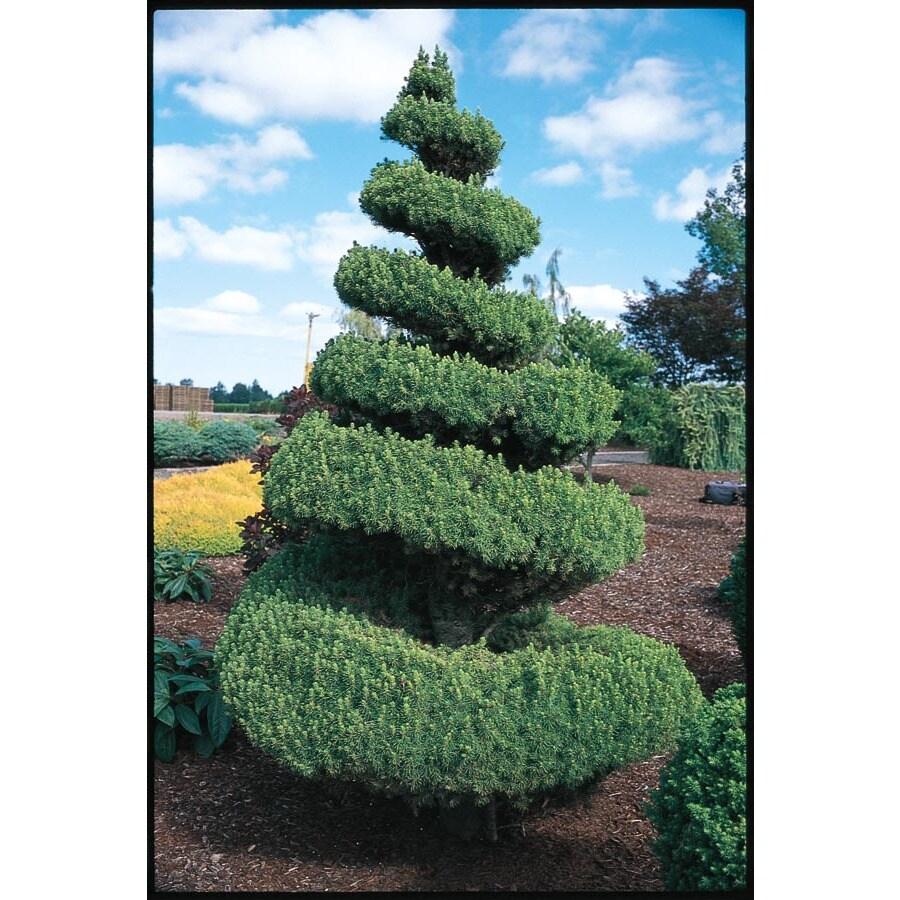 5.5-Gallon Spiral Alberta Spruce Feature Shrub (LW02483)