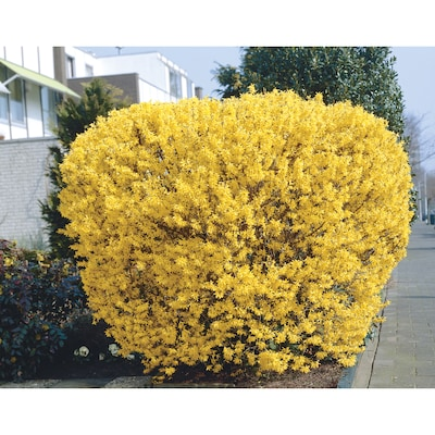 4 Ft Yellow Forsythia Flowering Tree In Bare Root With Soil