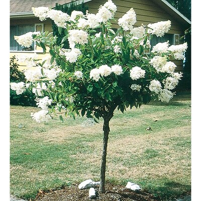 White Gee Hydrangea Tree Flowering Shrub In Pot With