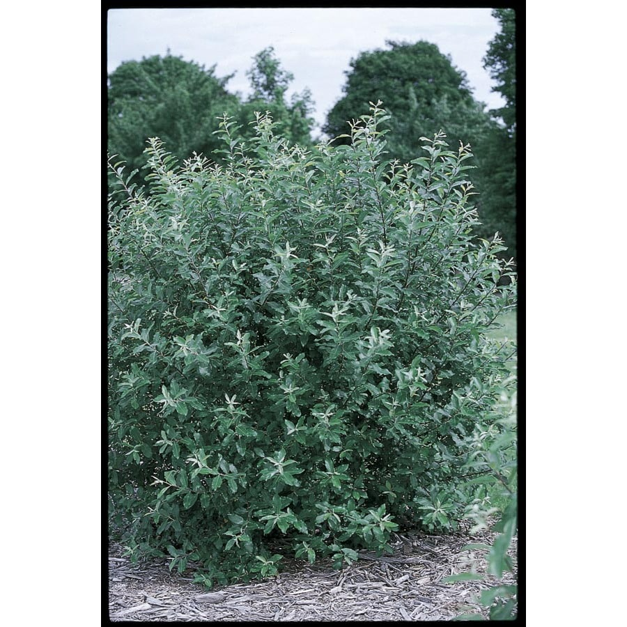 2.25-Gallon French Pussy Willow Flowering Tree (L14865)