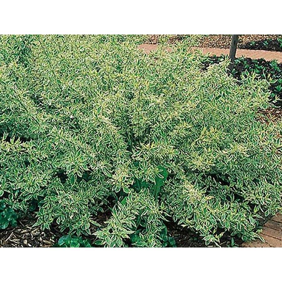 1.5-Gallon White Silver & Gold Dogwood Flowering Shrub (L2573)