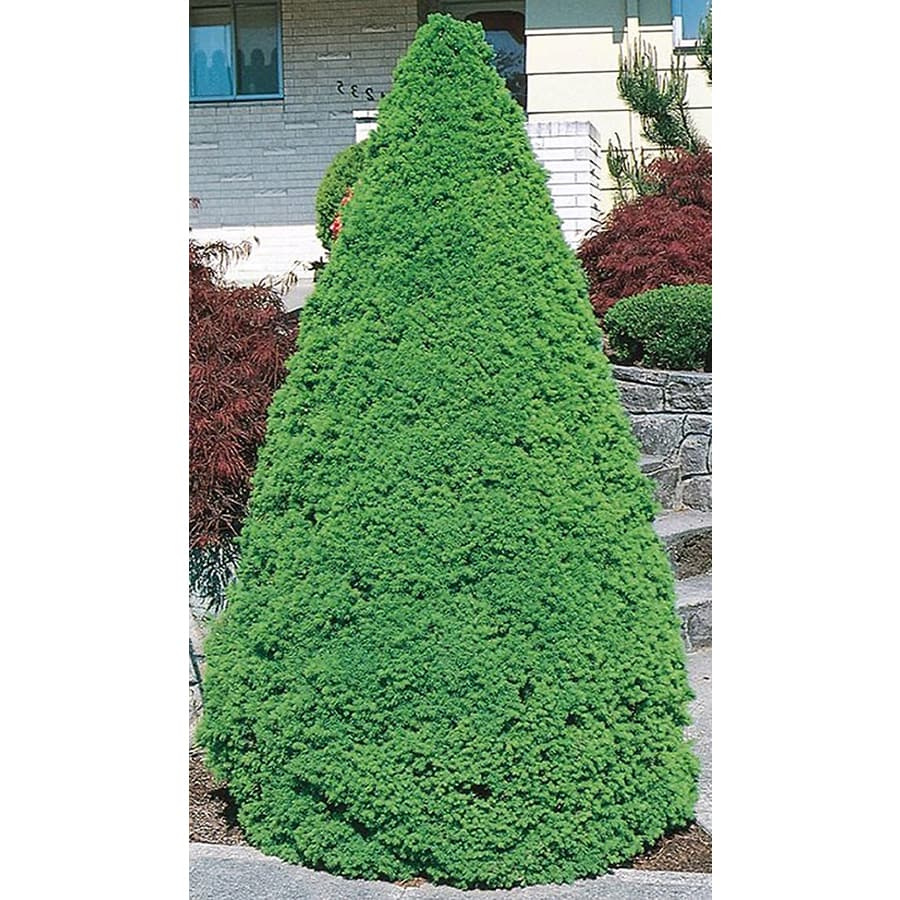 3.25-Gallon Dwarf Alberta Spruce Feature Shrub (L8449)