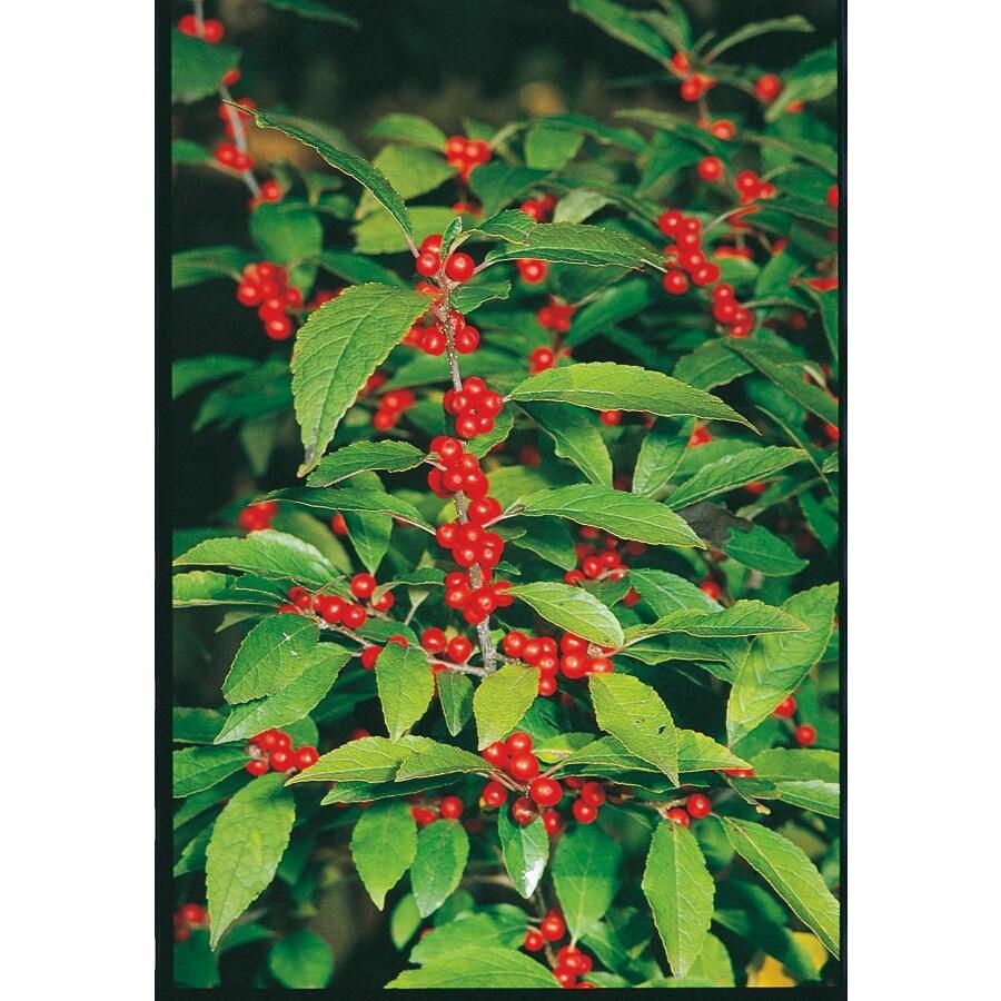 1.5-Gallon Red Sprite Holly Feature Shrub (L11858)