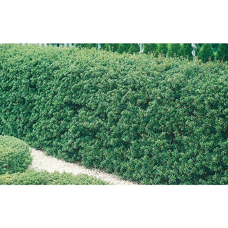 2.25-Gallon Steeds Holly Foundation/Hedge Shrub (L7653)