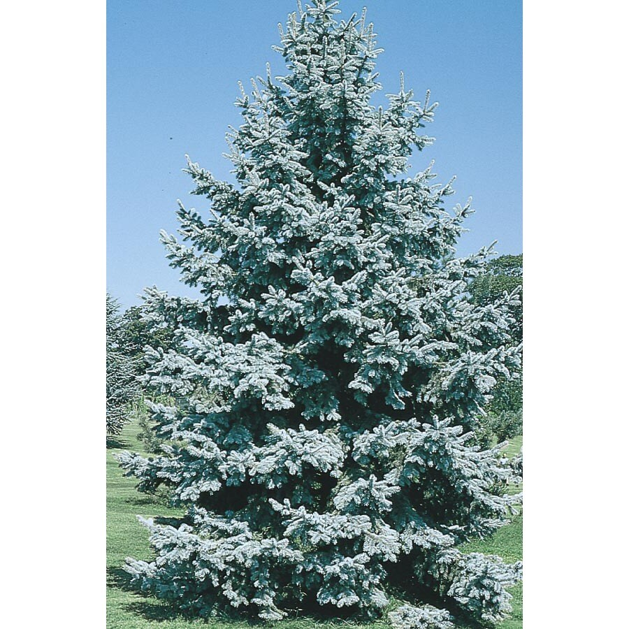 2.33-Gallon Colorado Blue Spruce Feature Tree (L3937)