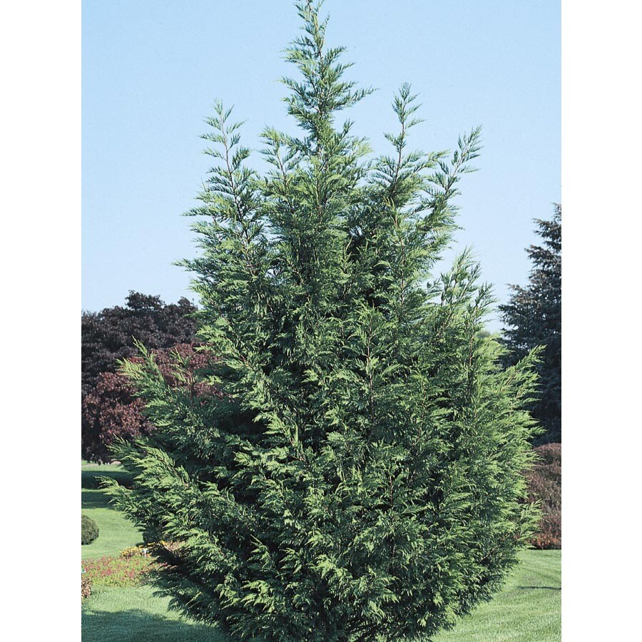 2.25-Gallon Leyland Cypress Screening Tree (L3153)