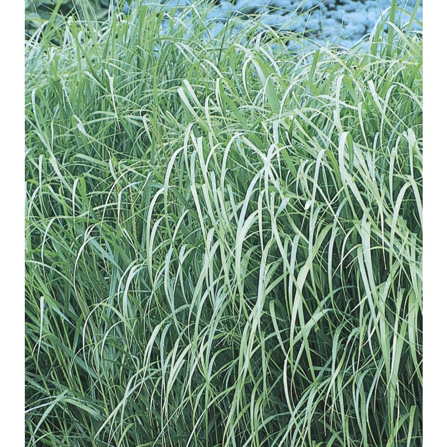 1.5-Gallon Switch Grass (L8329)