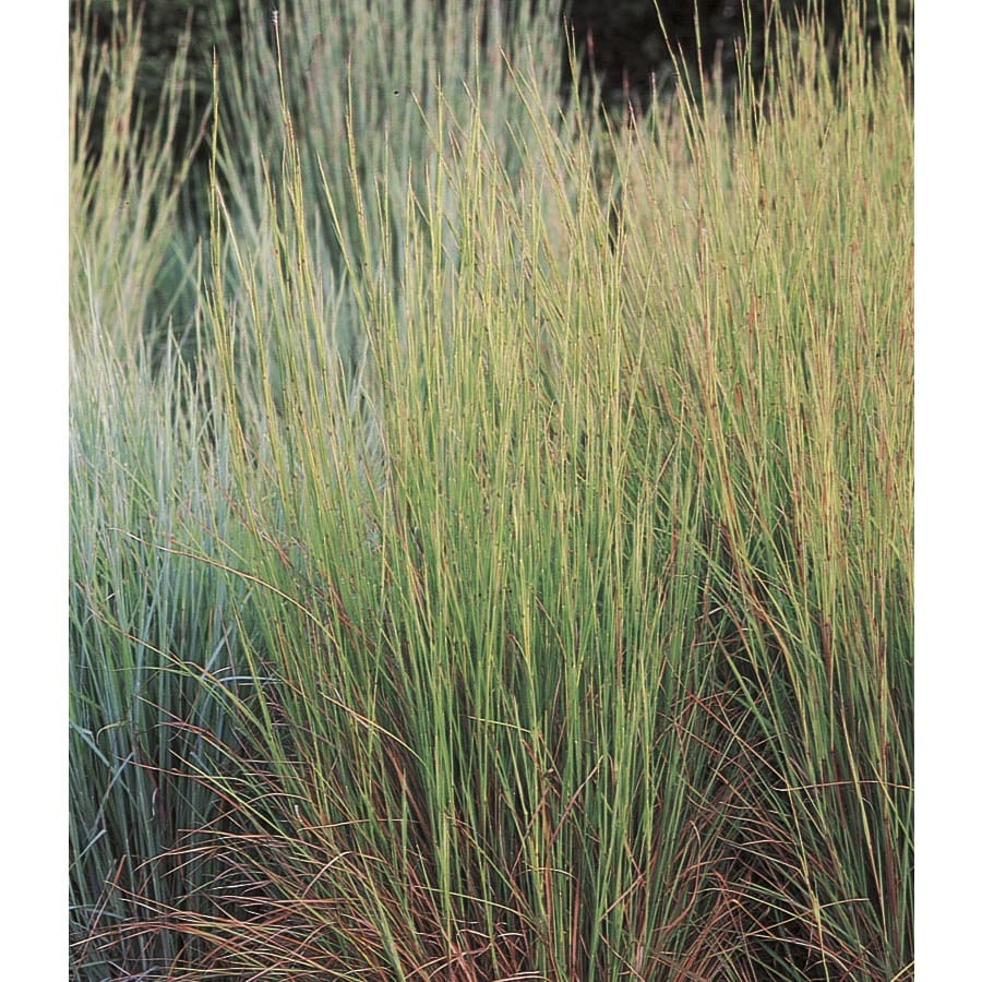 Cotton candy ornamental grass - 1 5 Gallon Little Bluestem Grass Lw02670