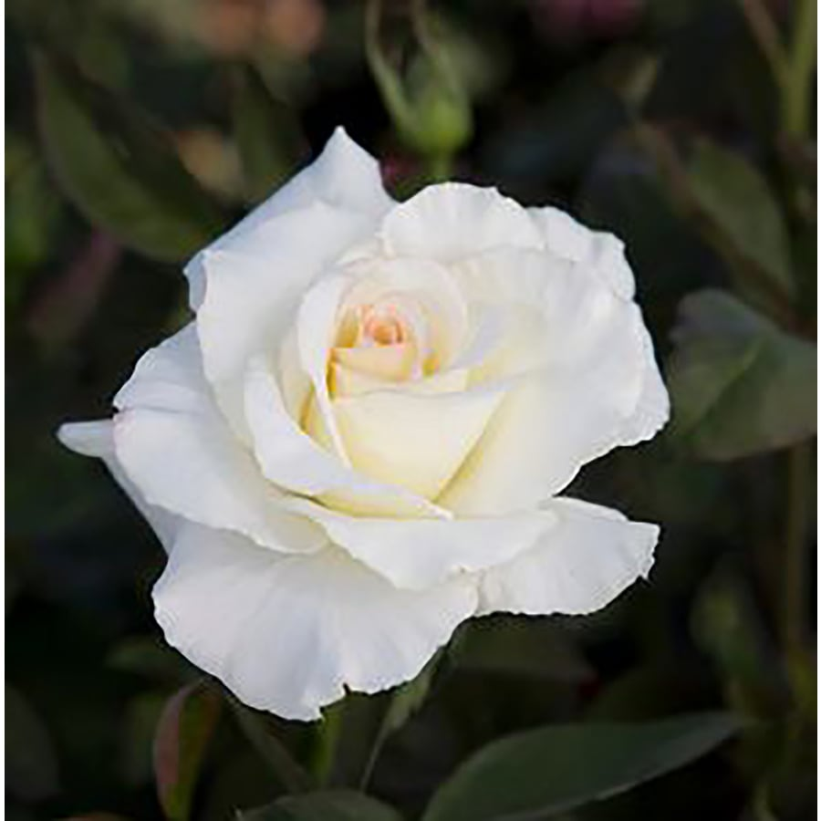 Shop 15 Gallon White Rose Flowering Shrub At Lowes
