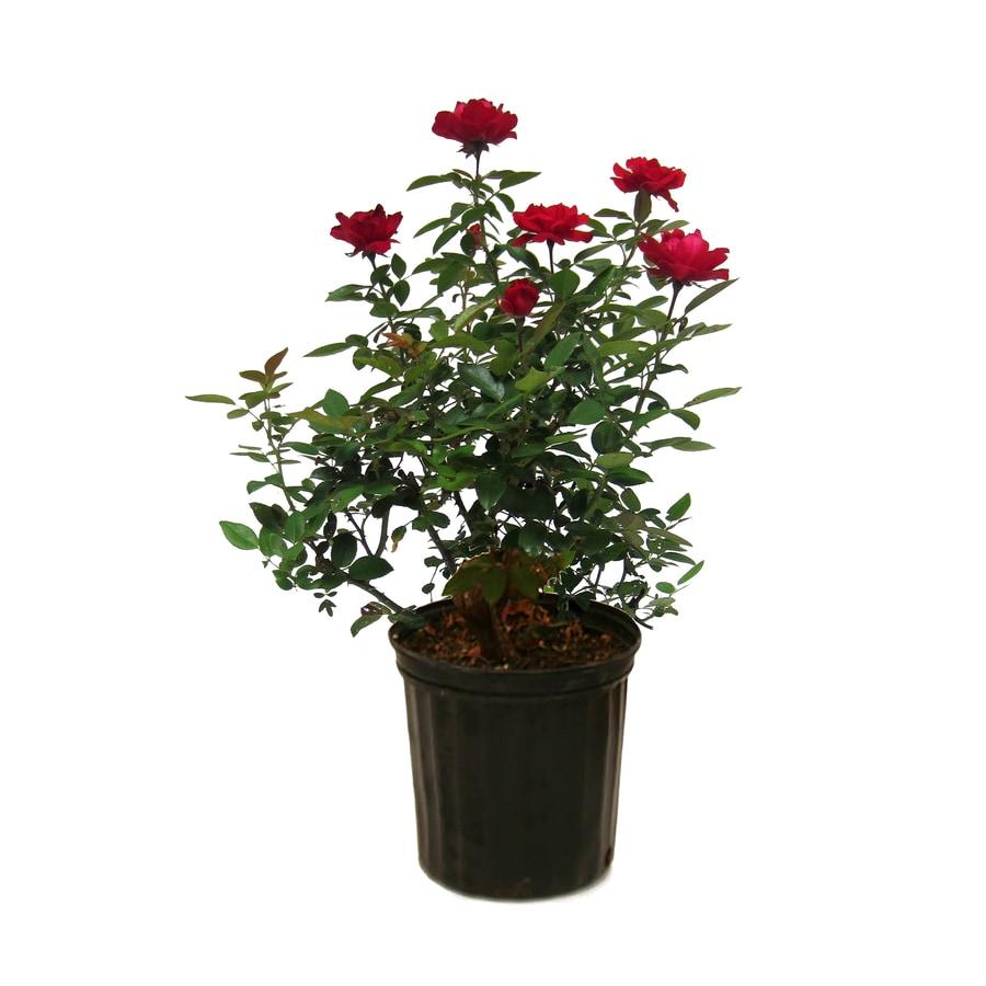 1.5-Gallon Red Rose Flowering Shrub