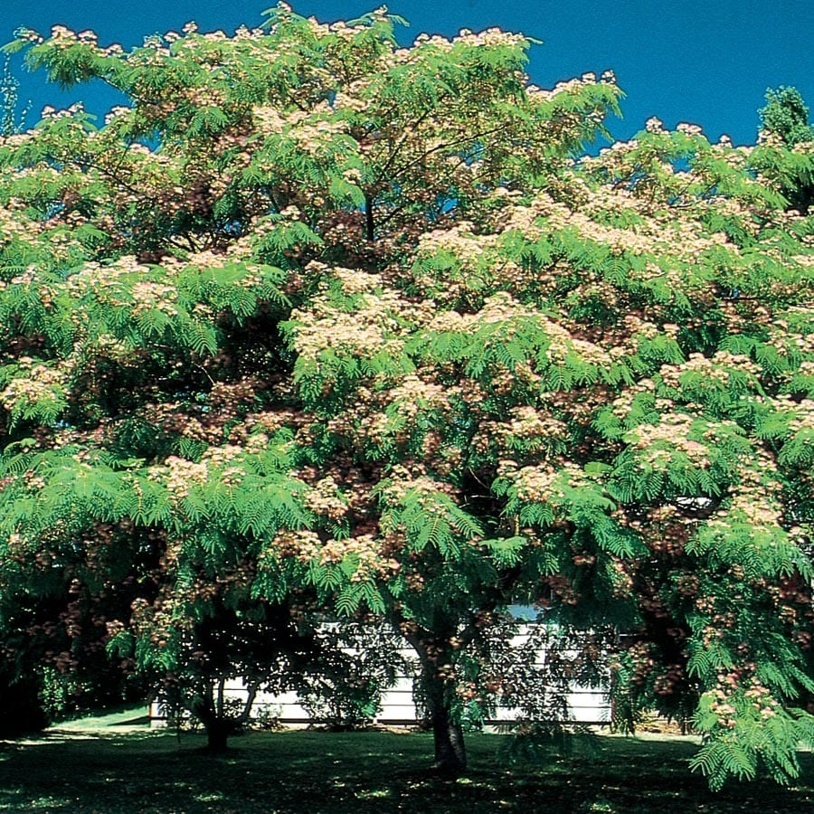 3.25-Gallon Mimosa Tree Flowering Tree (L1103)